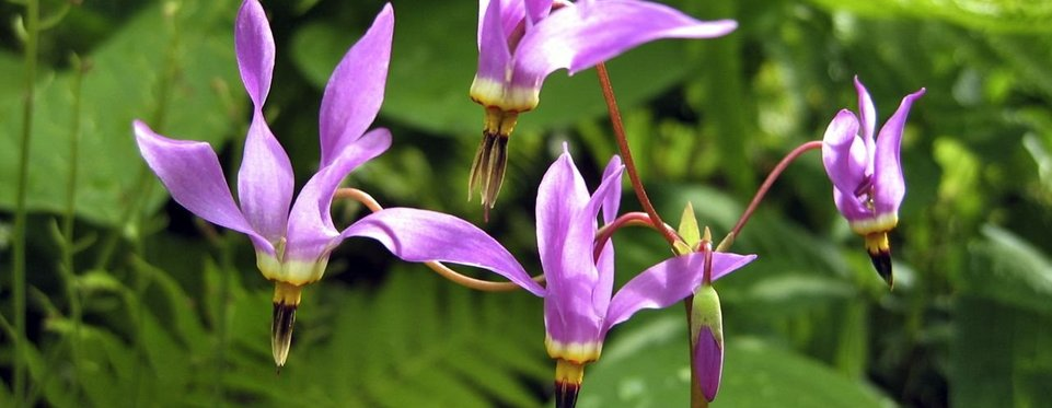 Dodecatheon meadia - Tolvgudablomma