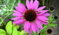 Echinacea purpurea - The King - Solhatt