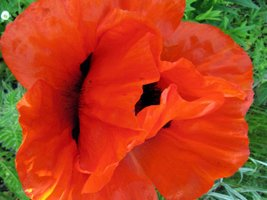 Papaver orientale - King of Orange - Jättevallmo