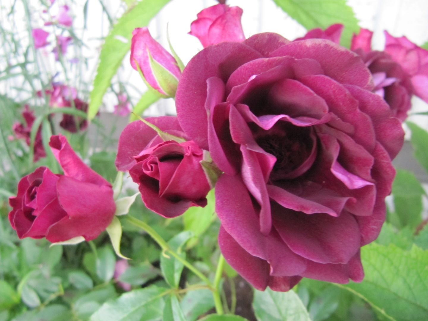 Rosa - Rhapsody in Blue - Ros