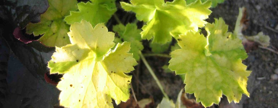 Heuchera - Key Lime Pie - Alunrot