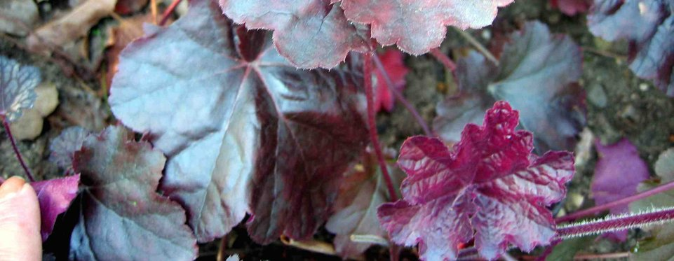 Heuchera - Palace Purple - Alunrot