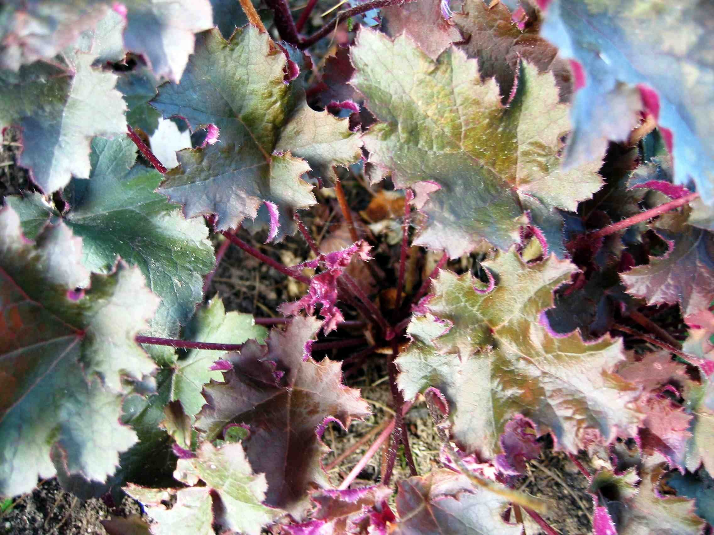 Heuchera - Peach Flambe - Alunrot