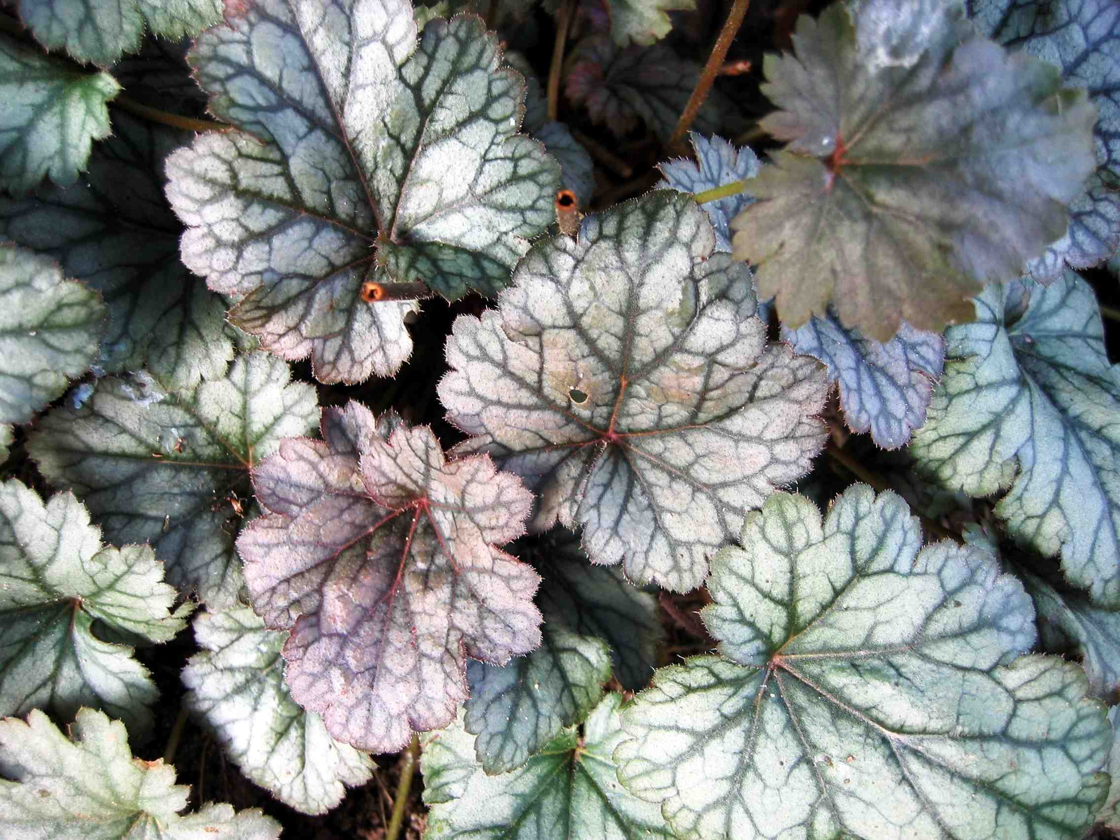 Heuchera - Rave on - Alunrot