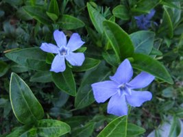 Vinca major - Vintergröna