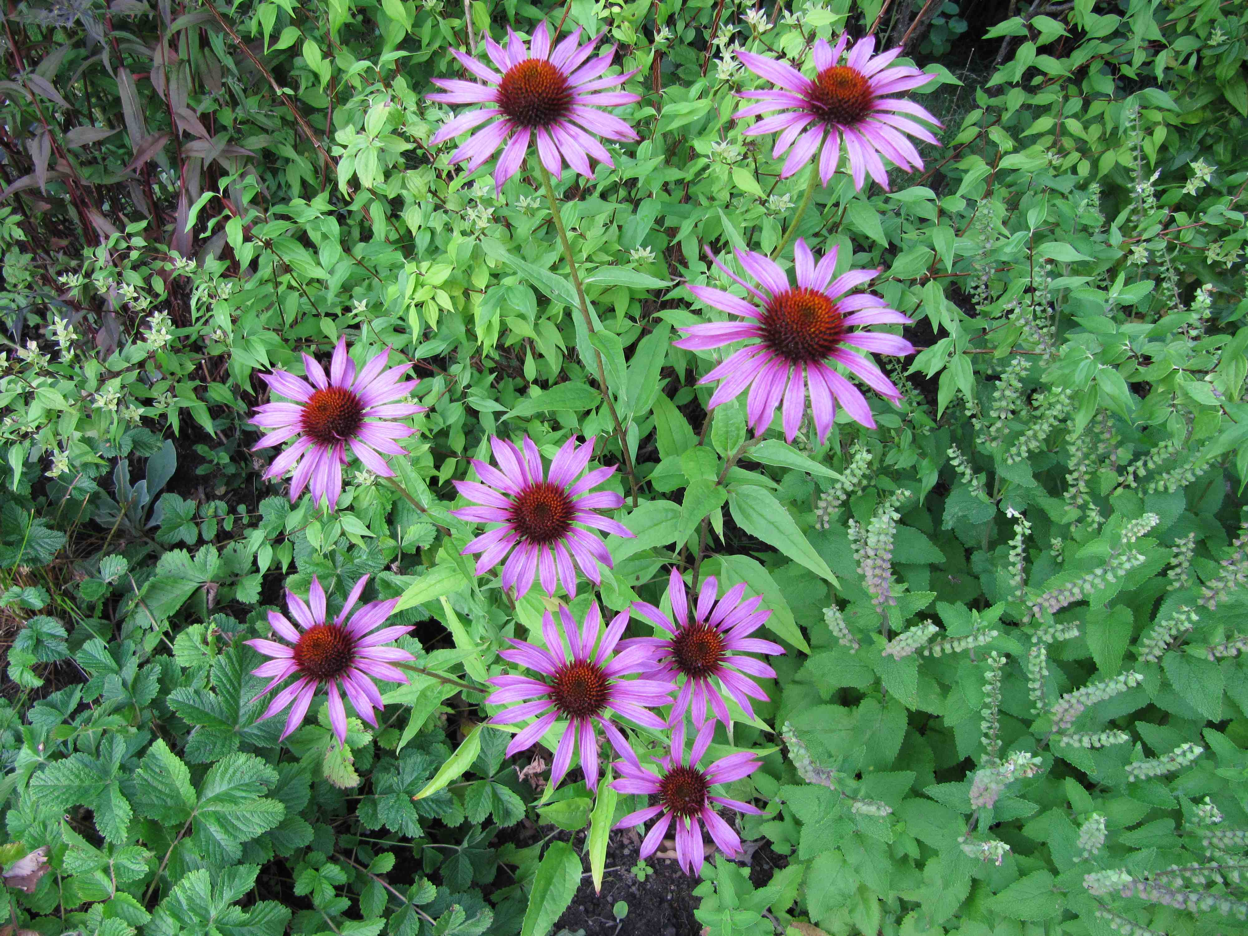 Echinacea purpurea - Rubinstern - Solhatt 1ac862e7780ab