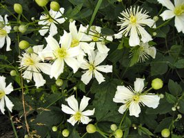 clematis fargesoides summer snow sidenklematis. Black Bedroom Furniture Sets. Home Design Ideas