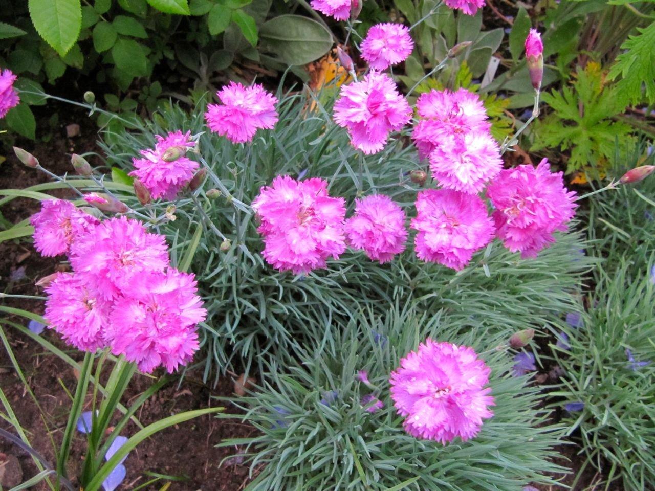 Dianthus plumarius - Fjädernejlika